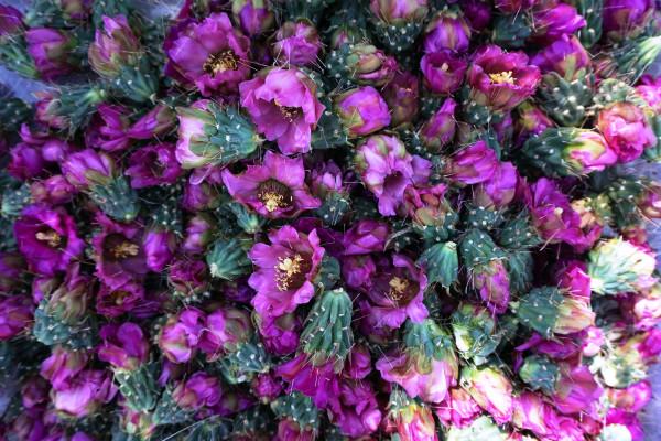 cholla cactus blossoms