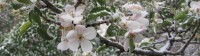 Apple Blossoms in the Snow